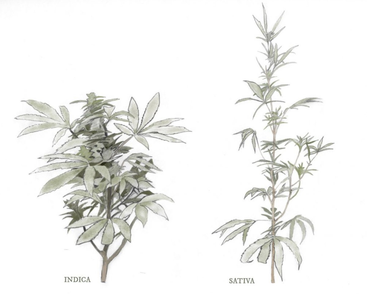 Indica vs Sativa doesn't mean what you think it does