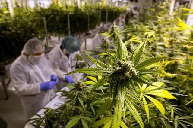 The debate over the appropriateness of cannabis down on the farm