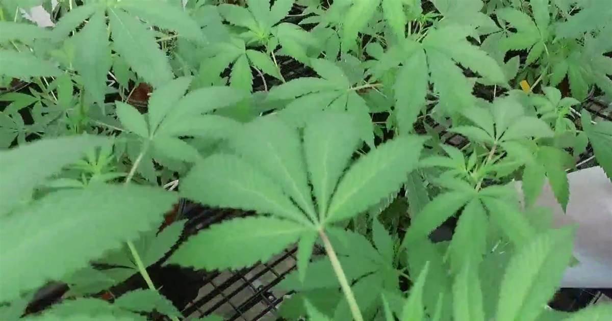 Legalization of recreational marijuana gaining support on 4/20