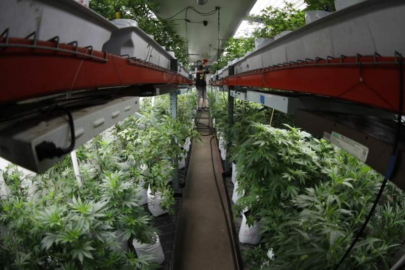 Oregon, Colorado cannabis-glut studies provide lessons for California, pot-friendly states