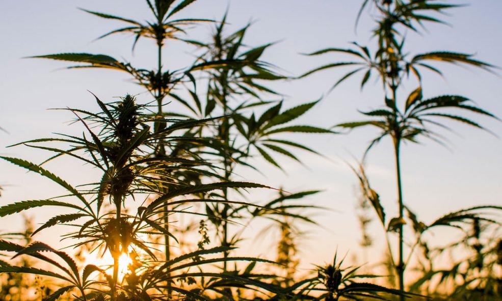 This New Type Of Marijuana Has 38.7% THC | urhealthinfo