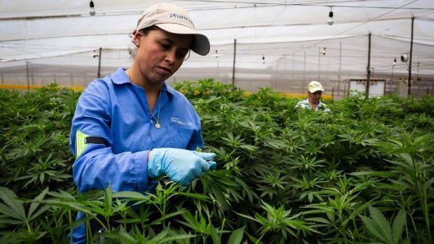 'Everyone has seen Narcos': Canadian cannabis firms invest millions in Colombia | CBC News