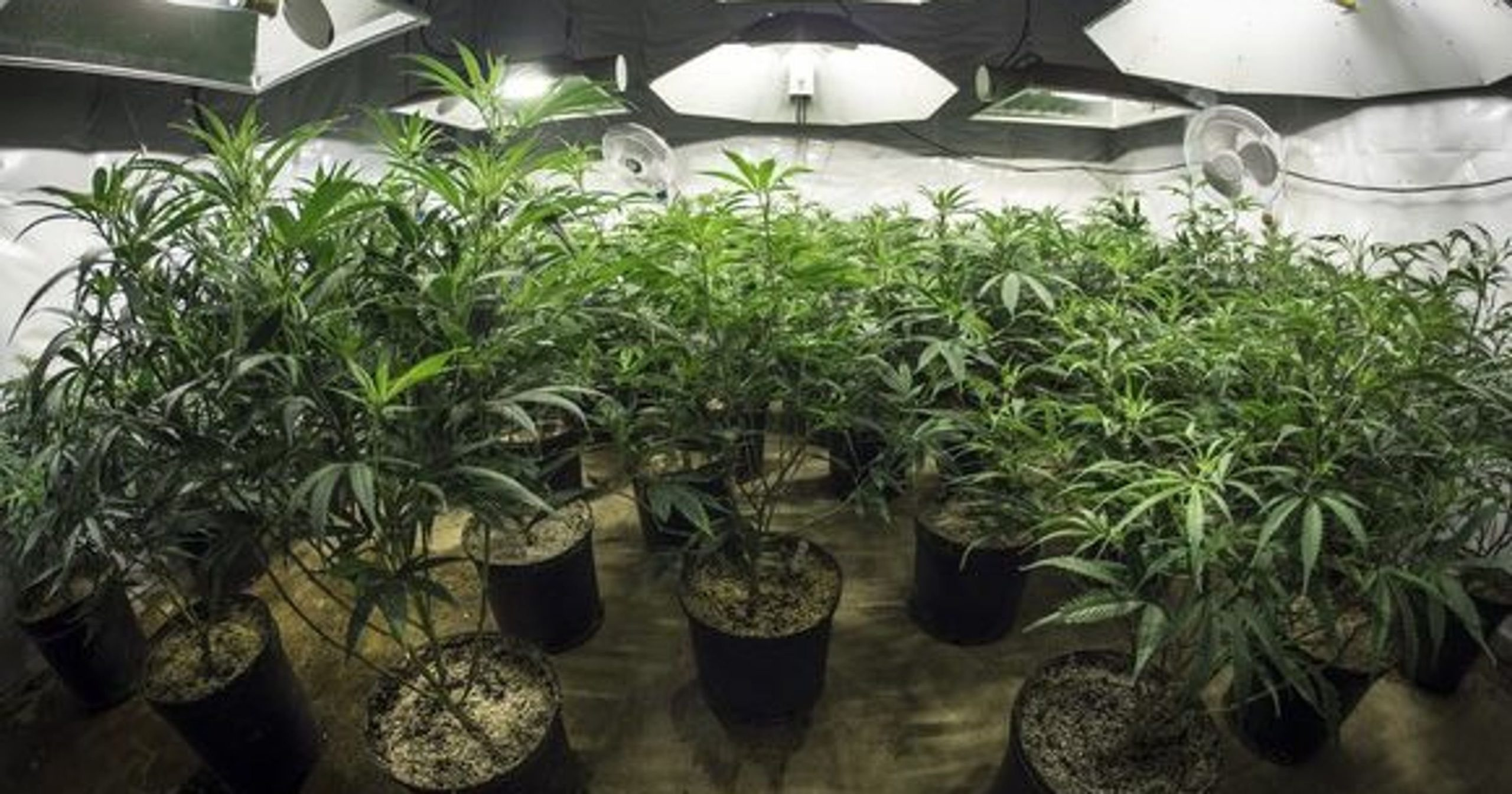 So, you want to grow your own weed? Here's a simple guide to breeding