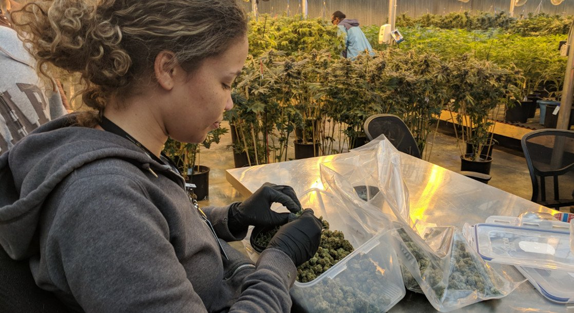 Too Much Marijuana: Oregon Growers Want to Sell Excess Pot to Other States