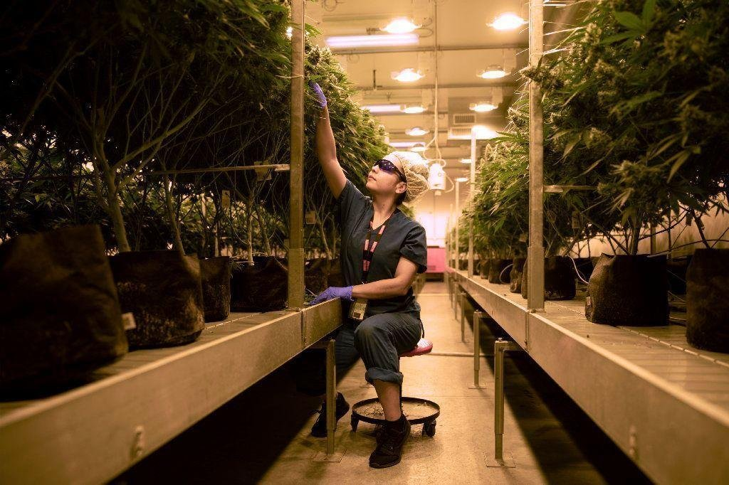 Medical marijuana use up 83% in state; PTSD most common condition treated