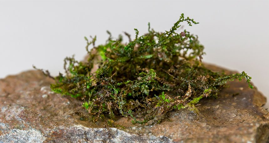 This mosslike plant contains a painkiller similar to the one in marijuana
