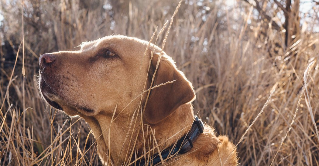 Marijuana Legalization Threatens These Dogs' Collars
