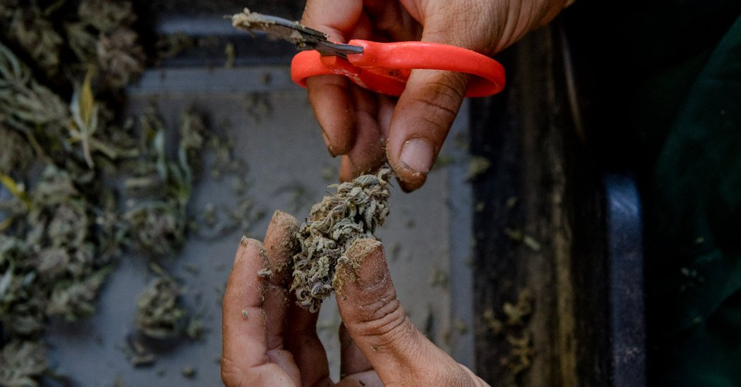 The 'Green Dimension': Inside the Lives of California's Marijuana Trimmers