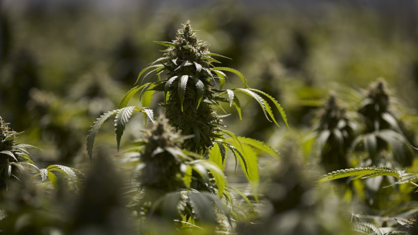 So you want to grow your own marijuana? Here's what to know.