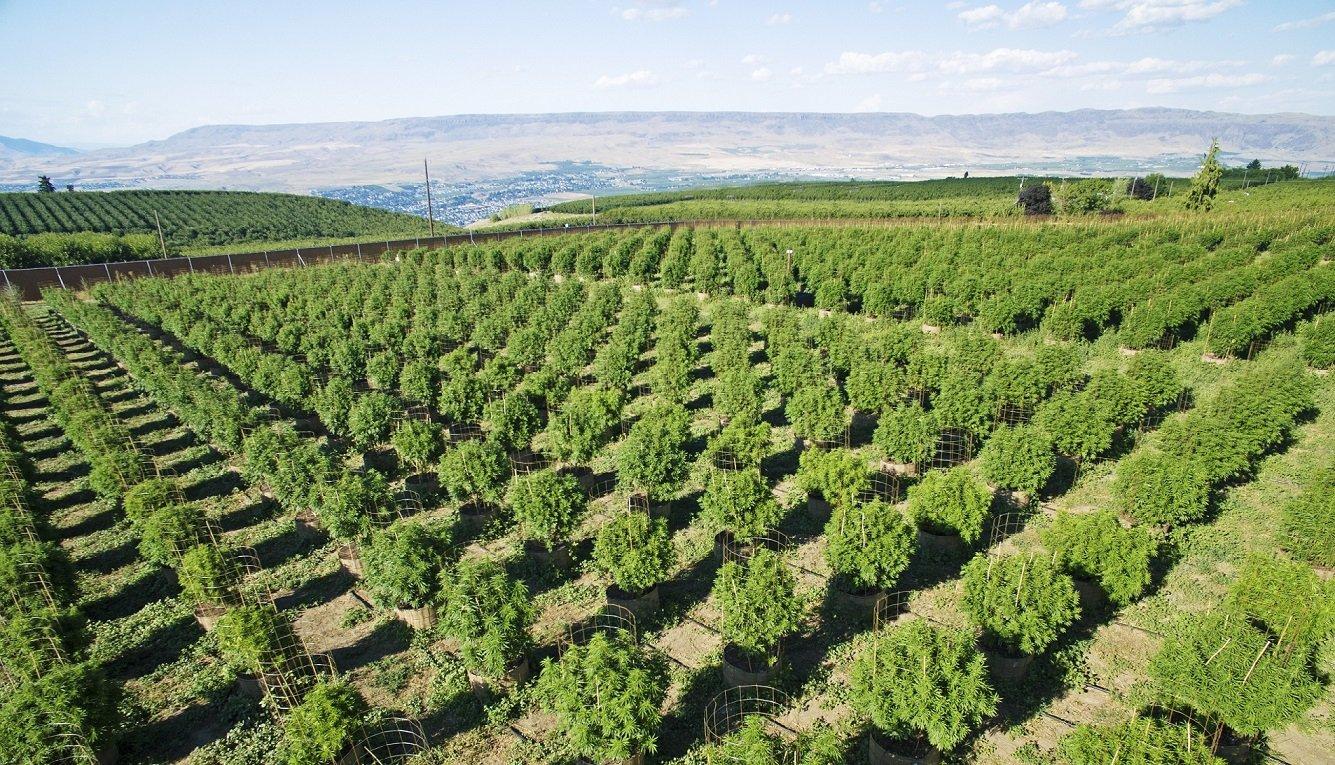 How to Grow Outdoor Marijuana Plants in Pots