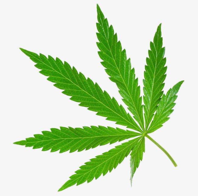 Marijuana Plants 101: Everything you Need to Know and More - Marijauna Seeds