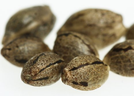 Buying Cannabis Seeds: Worth it or Not
