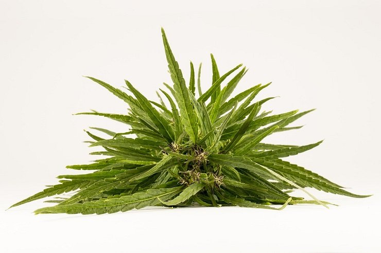 How to Identify Marijuana Seeds