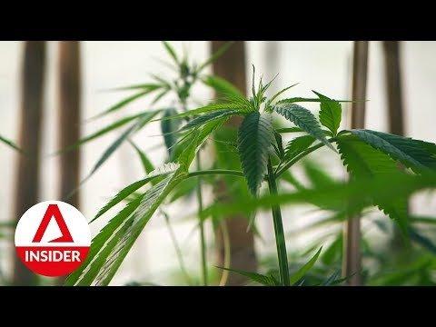Inside Thailand's First Legalised Cannabis Plantation   Insight   CNA Insider
