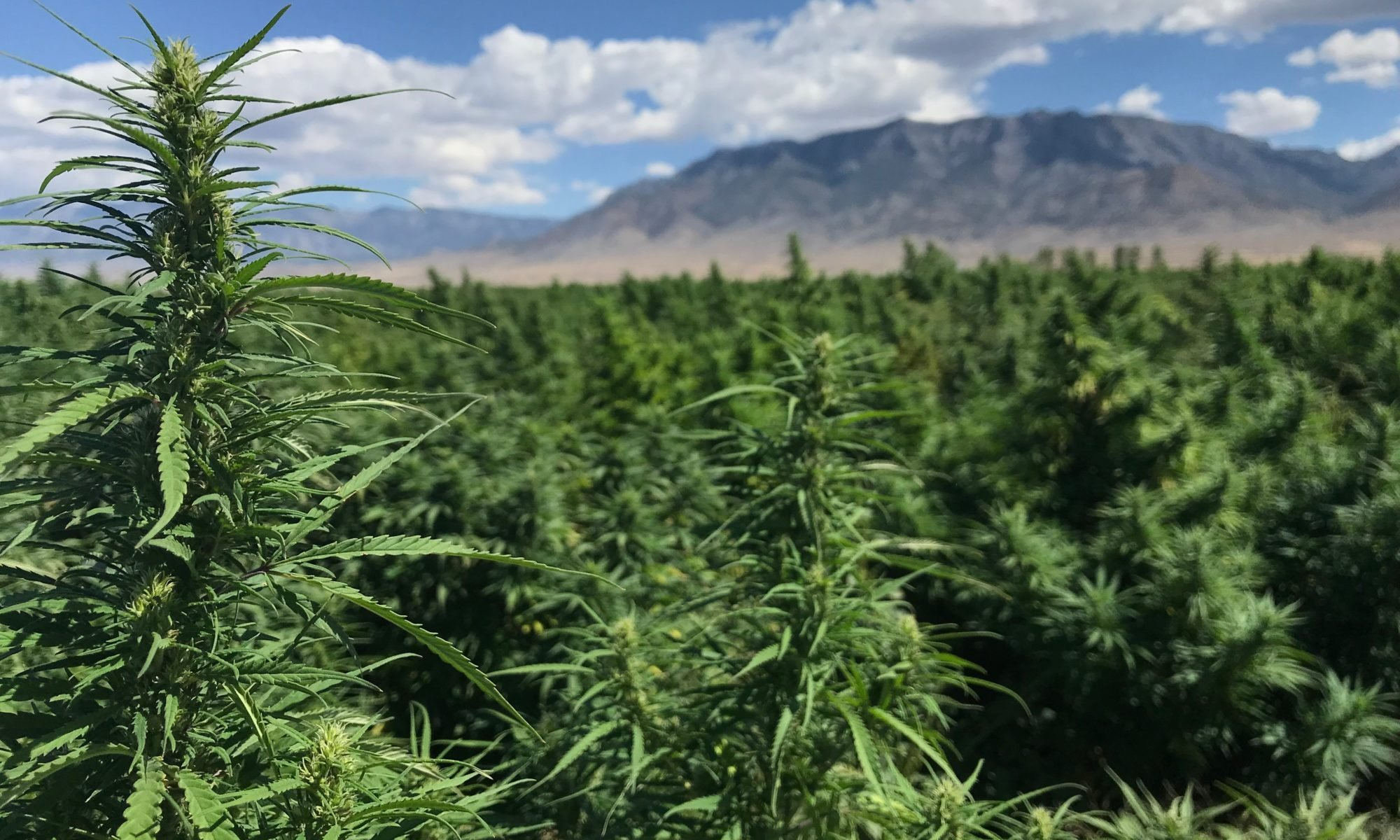 Nevada growers see new opportunity for hemp with the Farm Bill's passage,