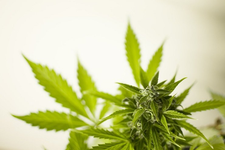 Things you need to know when growing marijuana indoors