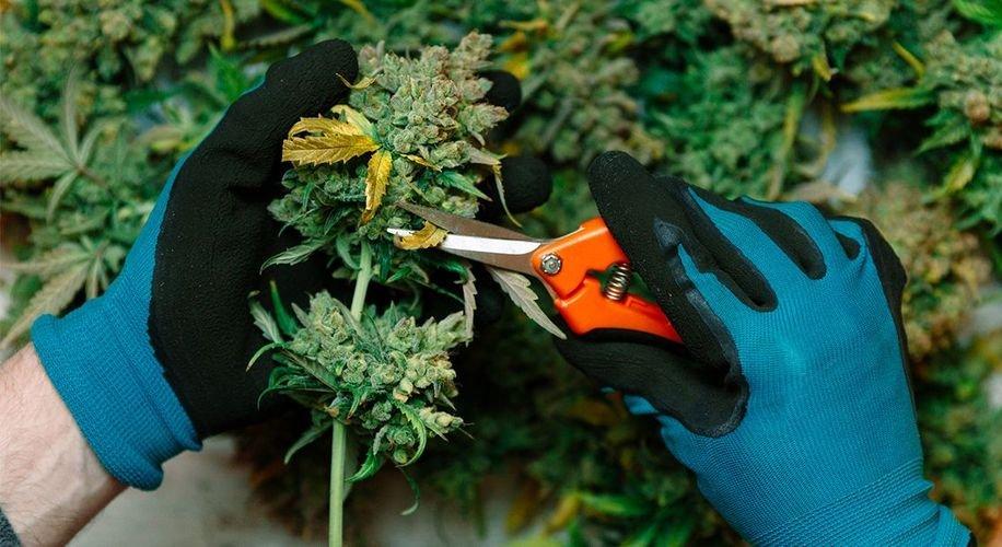America's Cannabis Industry Has Already Created More Than 200,000 Jobs