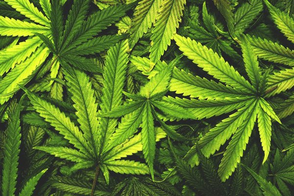 Marijuana: only a drug, or something more?