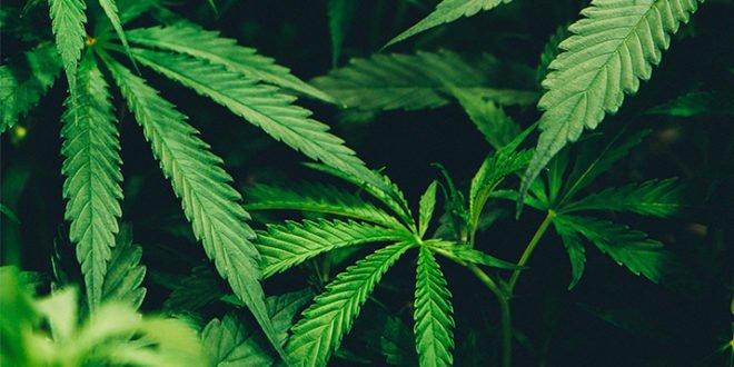 New Portable Test Can Differentiate Hemp and Marijuana