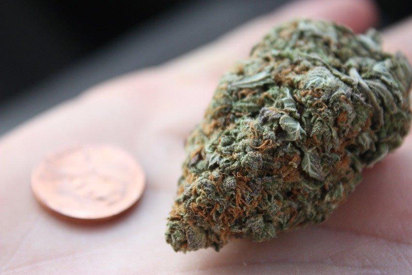 Harlequin Marijuana Strain Full Review