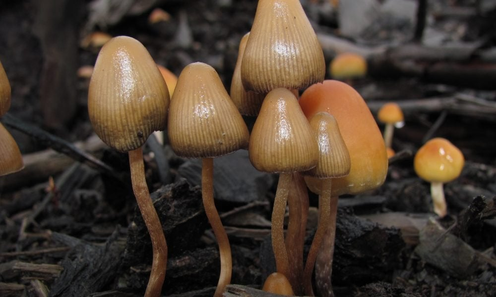 Oakland City Council Approves measure supporting the decriminalization of fungi-based psychedelic drugs such as psilocybin, ibogaine, mescaline and ayahuasca.