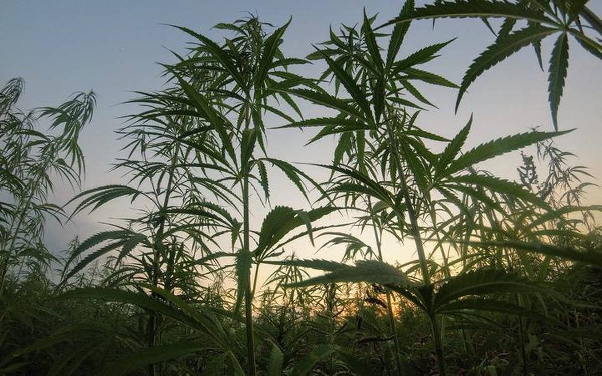 New Zealand: Cannabis crop could contribute $490m a year to government coffers