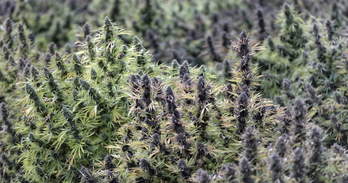The FDA Is Stunting the Growth of America's Nascent Legal Hemp Industry
