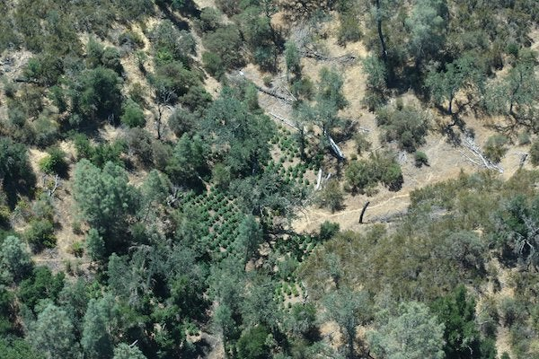 California authorities seize estimated $5 million worth of cannabis in illegal grow operation bust