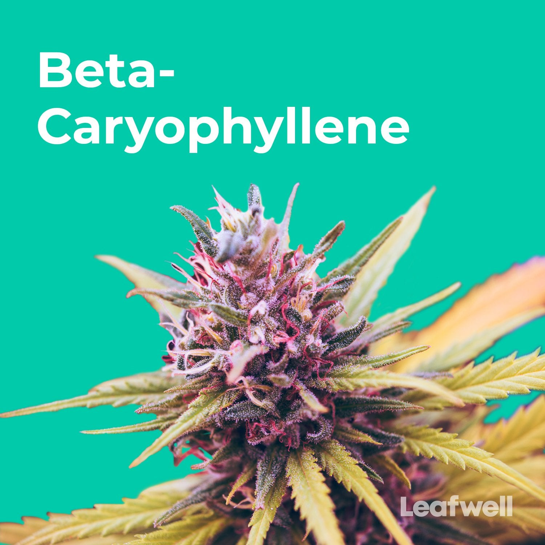 What is Beta-Caryophyllene? The Peppery Terpene and Cannabinoid
