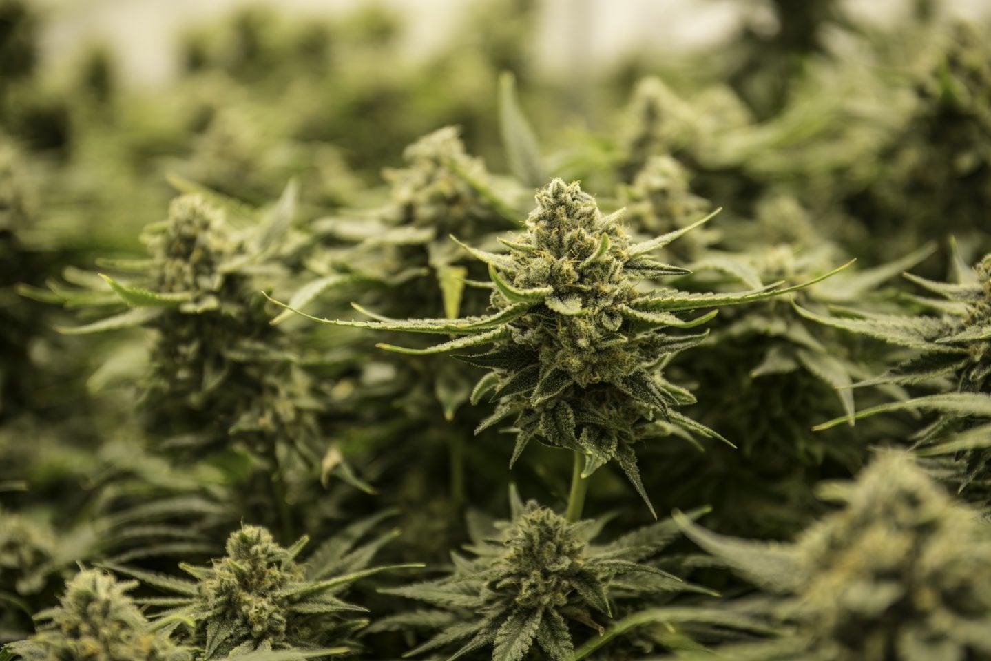 Police Destroy 30,000 Illicit Cannabis Plants In California Raid | High Times