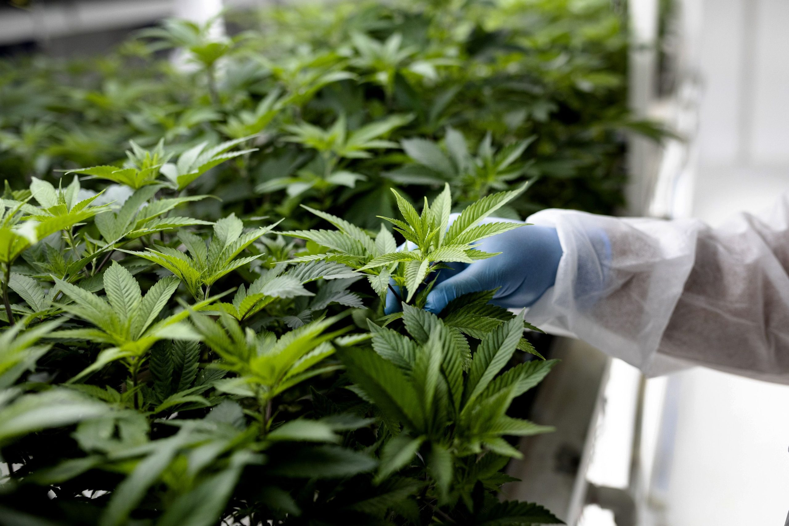State ballot measures to legalize cannabis could add $9 billion to US marijuana market