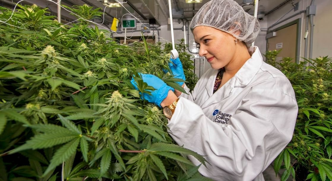 Weed Industry Workers Are Estimated to Outnumber Computer Programmers by End of 2020