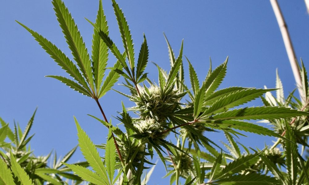 Montana Voters Poised To Legalize Marijuana, New Poll Shows